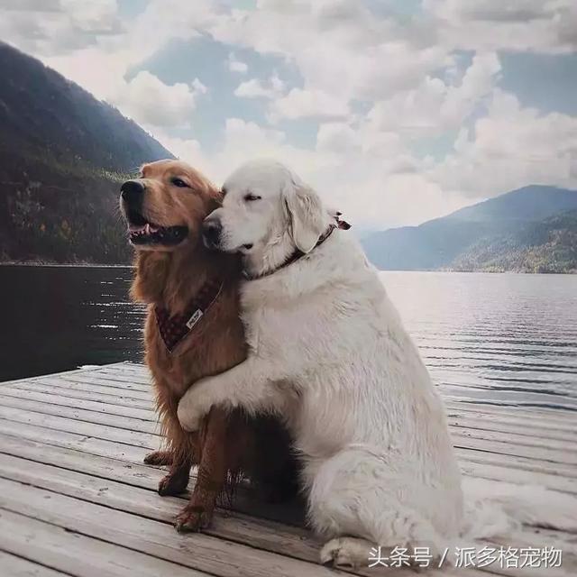 """這兩隻大金毛的""""旅行照"""",讓網友們嫉妒到想哭……"""