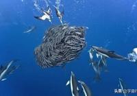 鯊魚為什麼不吃海豚?看完才知道它真的不敢吃