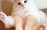 """得到了充足的愛與呵護的布偶貓,從瀕死狀態竟然逆襲成""""高富帥"""""""