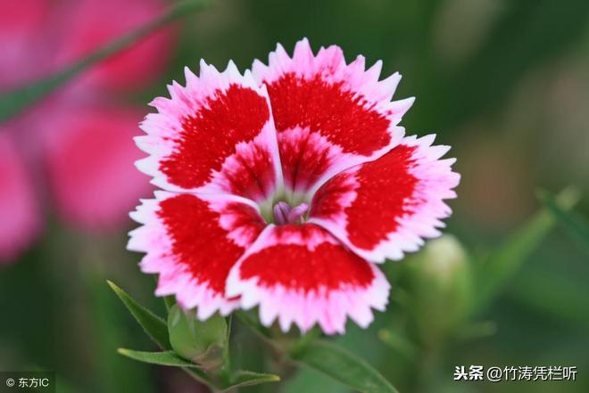 攝影欣賞:中國石竹