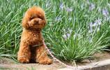 動物圖集:貴賓犬