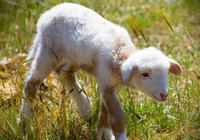 與生肖羊能白頭到老安享晚年的生肖是誰