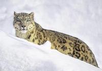 猞猁和雪豹誰厲害?