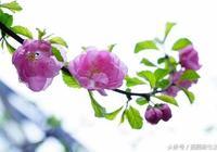 榆葉梅的精彩(1)