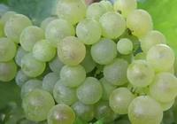 釀酒葡萄基礎資料:白玉霓(Ugni-Blanc)