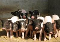 養豬風險太大,有人開始這樣養豬
