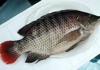 漁業裡吳郭魚是什麼魚?