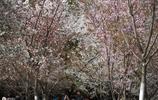 一年一度的櫻花節
