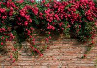 我國最美的花,花開200天,院子,陽臺種2棵,春節就能賞花海!