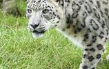 雪豹:棲息環境
