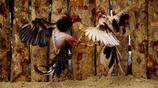 直擊古巴的地下鬥雞產業,有人夢想靠此發家致富
