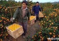 桂林南豐蜜橘滯銷是真的嗎?南豐蜜桔種植還有前途嗎?