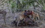 動物王國:鬣狗的盛宴