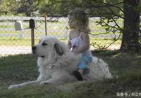 小女孩把大白熊犬當馬騎,還欺負它,大白熊犬不高興了