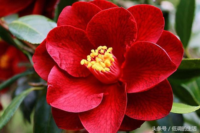 植物美圖:山茶花