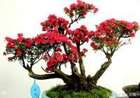 盆栽盆景——樹樁盆景藝術製作