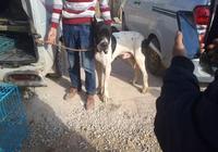 狗市出售大丹犬,有人出價800元,商販:少了1000不用談!