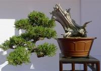 絕美優雅的松樹盆景「太美了,快分享給朋友吧!」