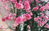 陽春三月,櫻花爛漫