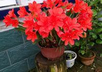 此花,花色鮮紅豔麗,漂亮又喜慶,比綠蘿吊蘭好養,丟土裡就能活