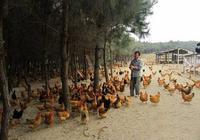 養雞人路在何方?