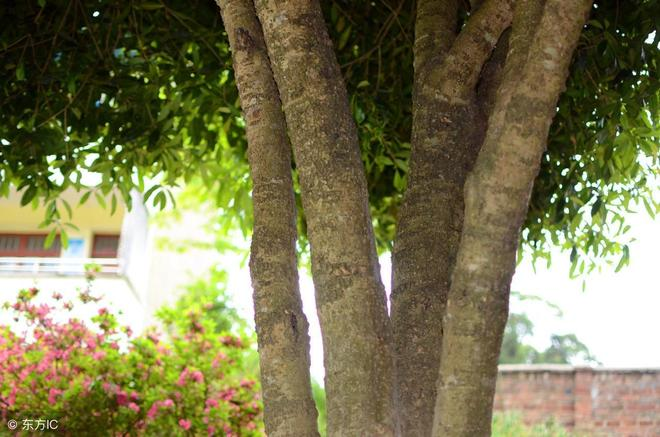學校裡10米高四胞胎桂花樹,有人出10萬想買走,校方說50萬也不賣