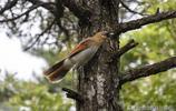 三清山有一種追著遊客飛的鳥,原本害羞的習性因遊客而改變