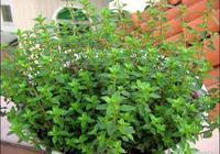 薄荷等香草植物根本用不著買,教你3大簡易繁殖法