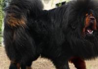 """中國最霸氣的一種田園犬!曾被譽為""""狗王"""",現在卻被人毀了"""