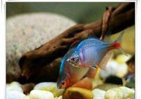 為什麼說很多原生態的觀賞魚比較難以飼養,事實真的如此嗎?