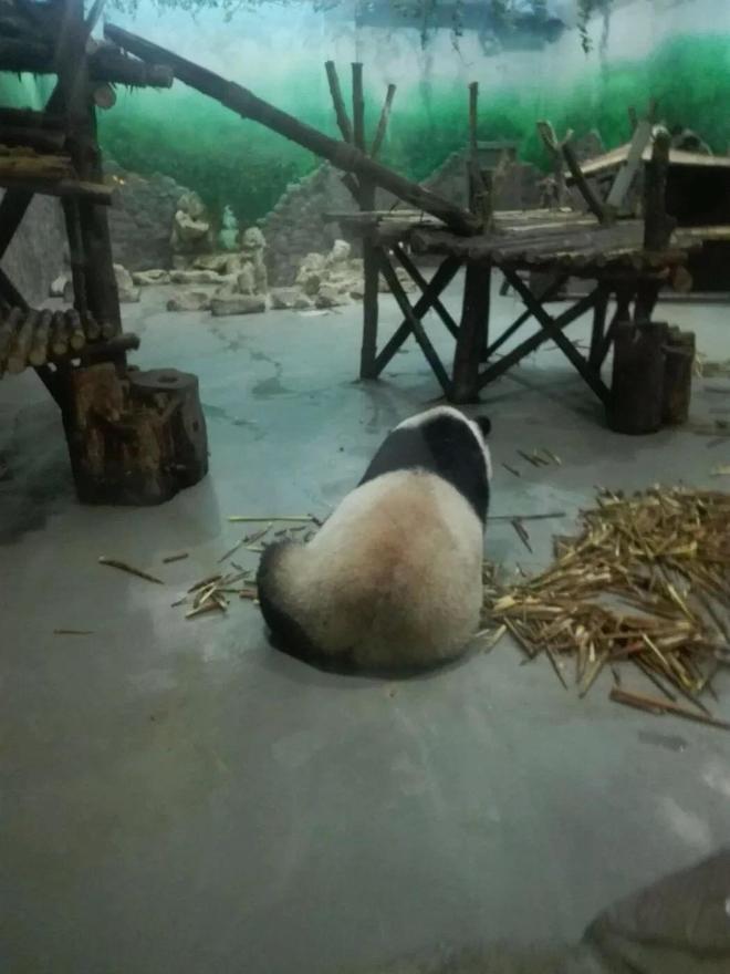 軟萌可愛 四川 大熊貓繁育研究基地