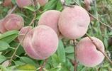 晚熟冬桃一一天寶大冬桃