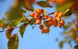 秋天的海棠果