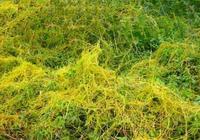 這個沒有孃親的植物,居然是治療黃褐斑的良藥!