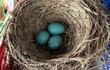 我家知更鳥在陽臺上搭建了個小鳥窩又孵出了三隻小鳥,太可愛了!