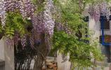想讓陽臺變成小花園?這8種一開花就成瀑布的爬藤植物可以試試