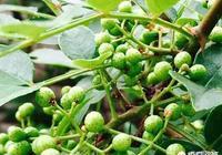 花椒樹上的蚜蟲怎樣防治?