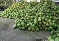 """神奇的椰子,椰子水可以直接喝,椰子肉榨汁為""""椰汁"""""""