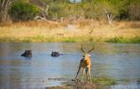 動物世界:羚羊的死裡逃生