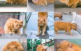 大橘為重,一個手兒抱不下,兩個手兒剛夠嗆,下面這隻貓便是