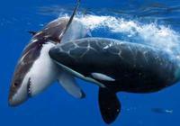 座頭鯨為何喜歡和虎鯨過不去?虎鯨表示自己也很委屈