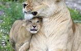 母獅在最後三天沒離開小獅子一步