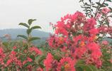 花卉圖集:紫薇花