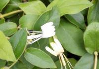 金銀花什麼時候種植,金銀花的種植方法和注意事項