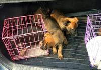 小夥開車去開封狗市,幫粉絲抓了幾隻狗狗,看一下有沒有你喜歡的