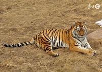 屬虎之人今年必有虛空藏菩薩保佑