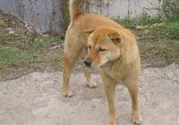 懂事的大黃狗成天接我上下學,突然有一天我沒了,狗狗瘋了