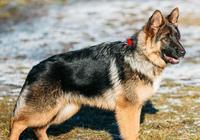 動物故事|狼狗布爾加