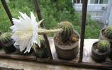 植物圖集:仙人球植物美圖