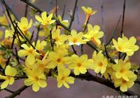怎麼樣區分迎春花和連翹?